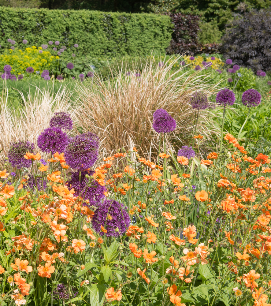 4A newUK Garden tour Purple allum orange flowers