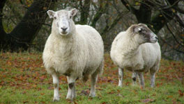 england-english-lake-district-sheep
